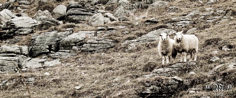 Les moutons de Burren.
